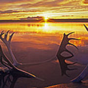 Sunset On Caribou Antlers In Whitefish Lake Art Print
