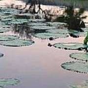 Sunset On Pond Lily Pads Art Print