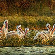 Pelicans Rest Art Print