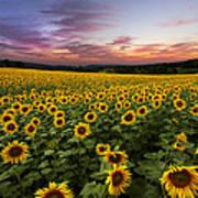 Sunset Sunflowers Art Print by Debra and Dave Vanderlaan
