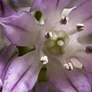 Super Close Up Of A Chive Flower Art Print