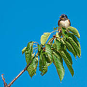 Swallow Sitting On Cherry Tree Branch Art Print