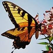 Swallowback Butterfly # 2 Art Print