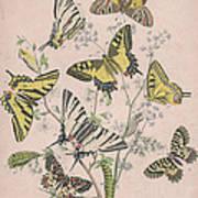 Swallowtail Butterflies - Papilionidae Art Print