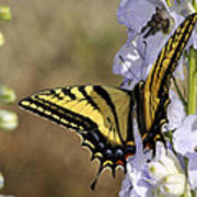 Swallowtail Butterfly 1 Art Print