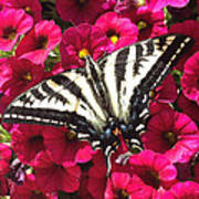 Swallowtail Butterfly Full Span On Fuchsia Flowers Art Print
