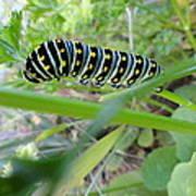 Swallowtail Caterpillar Art Print