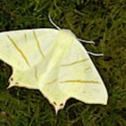 Swallowtail Moth Art Print