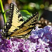 Swallowtail On Lilac Art Print