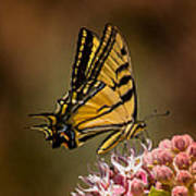 Swallowtail On Milkweed Art Print
