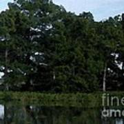 Swamp Cypress Trees Digital Oil Painting Art Print