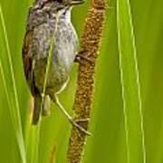 Swamp Sparrow Pictures Art Print