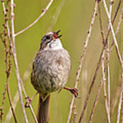 Swamp Sparrow Split Decision Art Print