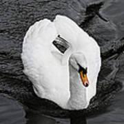 Swan 2 Art Print