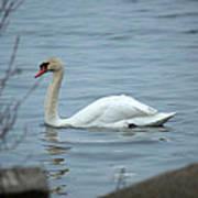 Swan A Swimming Art Print