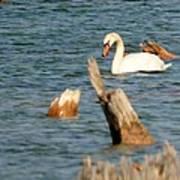 Swan Amid Stumps Art Print