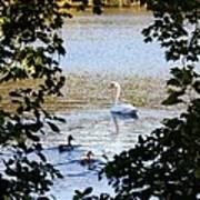 Swan And Ducks Through Trees Art Print