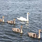 Swan And His Ducklings Art Print