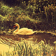 Swan At The Golden Lake Art Print