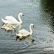 Swan Family Print by Jim  Calarese