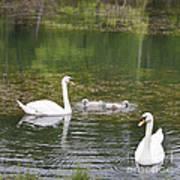 Swan Family Squared Art Print