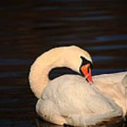 Swan Grooming Art Print