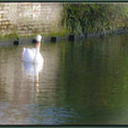 Swan In The Canal Art Print