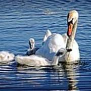 Swan Mom And Cyngets Art Print