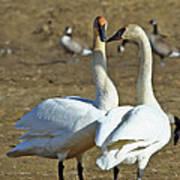 Swan Pair Art Print