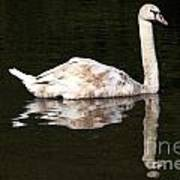 Swan Reflection Art Print