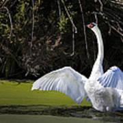 Swan Wings Spread Art Print