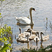 Swan With Signets 2 Art Print
