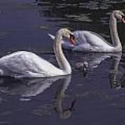 Swans And Signet Art Print