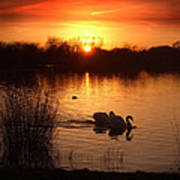 Swans At Sunset Art Print by Ed Pettitt