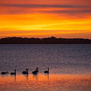 Swans In The Sunrise Art Print