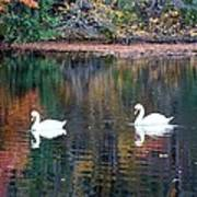 Swans At Betty Allen Art Print