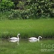 Swans Of Chatham Art Print
