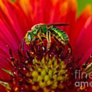 Sweat Bee Collecting Pollen Art Print