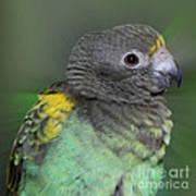 Sweet Baby Meyers Parrot Art Print