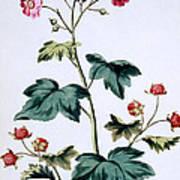 Sweet Canada Raspberry Art Print