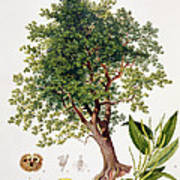 Sweet Chestnut Print by Johann Kautsky