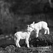 Sweet Little Lambs Art Print