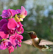 Sweet Pea Hummingbird Art Print