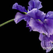 Sweet Pea Study Print by Anne Gilbert