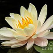 Sweet Peach Water Lily Art Print