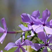 Sweet William Purple Wildflower Springtime Art Print