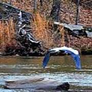 Sweetwater Heron In Flight Art Print