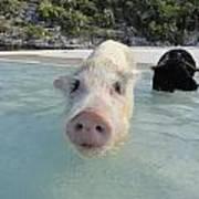 Swimming Pigs Art Print