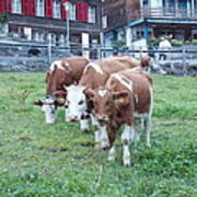 Swiss Cows Art Print
