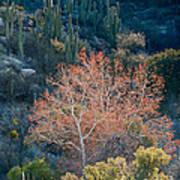 Sycamore And Saguaro Cacti, Arizona Art Print